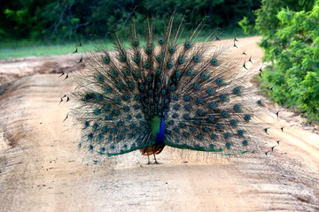 male peacock is opening its tail