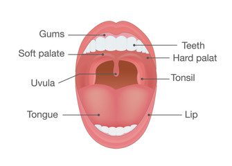 Anatomy of Human Mouth. Illustration about body detail.