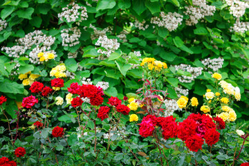 Beautiful summer garden with blooming roses.