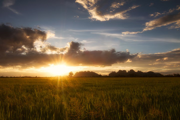 Landscape of golden light with green rice meadow