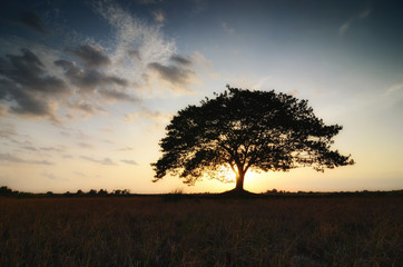 tree in field sunset backgroundform Thailand