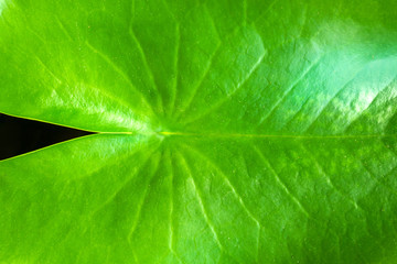 Green leaf background.This is a natural texture.