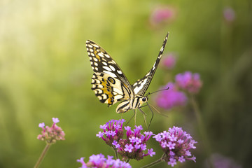 Beautiful Butterfly on Colorful Flower garden, background nature