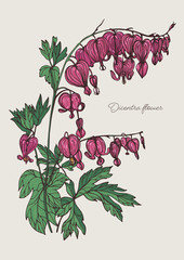 Bleeding Heart flower. Hand drawn colorful vector illustration with blooming dicentra flower.