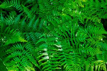 Bright dense foliage fern for background