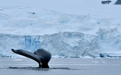 Humpback whales near Cuverville Island, Antarctica