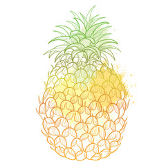 Vector drawing with outline Ananas or Pineapple fruit and leaf in pastel color isolated on white background. Perennial tropical plant in contour style for summer design or juicy fresh menu.
