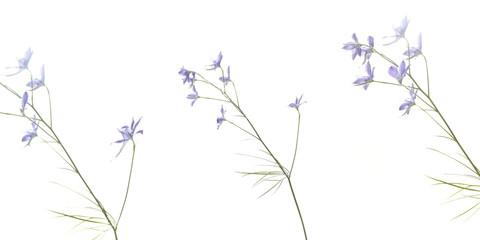 Colombine azzurre in sfondo bianco