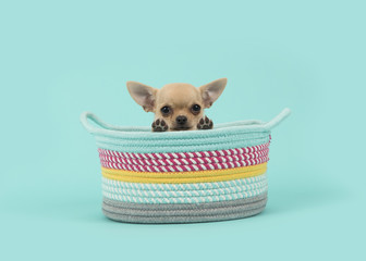 Cute brown chihuahua puppy dog in a colored basket looking over the edge of the basket on a turquoise blue background