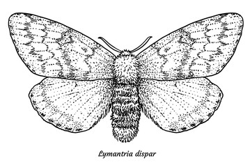 Gypsy moth illustration, drawing, engraving, ink, line art, vector