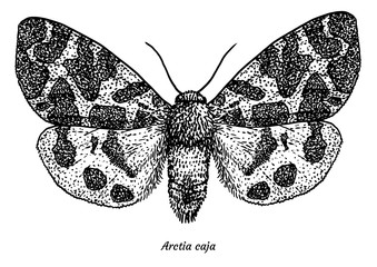 Garden tiger moth illustration, drawing, engraving, ink, line art, vector
