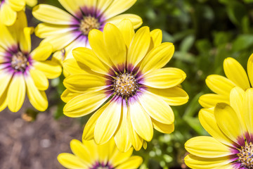 Beautiful yellow and purple daisies in the garden
