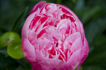 Peony Plants in Full Bloom
