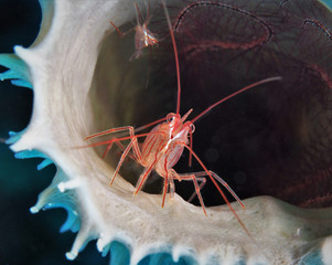 Peppermint Shrimp in Sponge