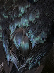 Close up detail of purple, blue and green iridescence on the back of a Cayuga ducks black feathers.