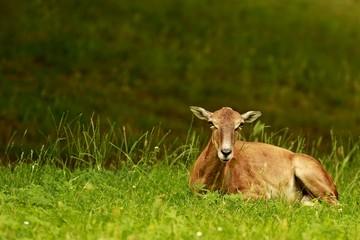 Female musmon laying on green grass