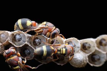 Super macro wasps and larvae on black background