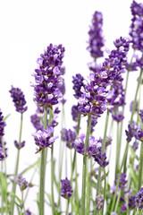 Spoed Fotobehang Lavendel Brins de lavande