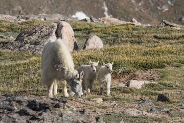Mountain Goat Nanny and Kids
