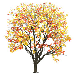 Elm with leaves in the fall