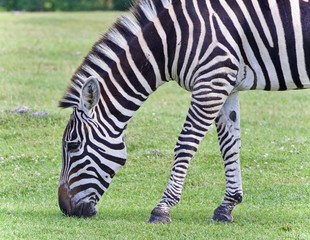 Isolated image of a zebra eating the grass