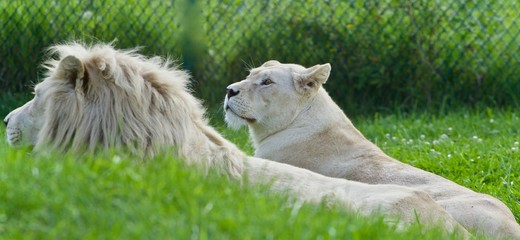 Picture with two white lions laying together