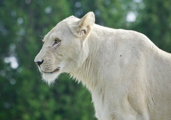 Image of a white lion looking aside in a field