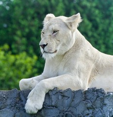 Isolated picture with a white lion looking aside