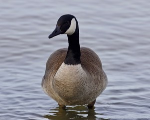 Beautiful image with a cute Canada goose in the lake