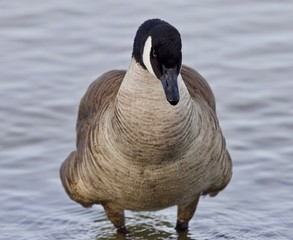 Beautiful isolated picture with a powerful Canada goose in the lake