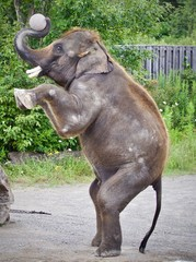 Isolated photo of an elephant standing on two legs