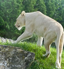 Isolated picture with a white lion walking