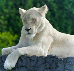 Image of a funny white lion trying not to sleep