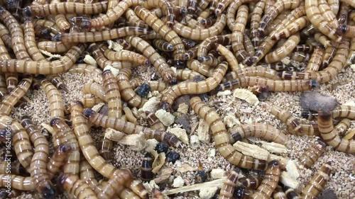 Mehlwürmer Bekämpfung mehlwürmer mit apfel und löwenzahn stockmaterial und lizenzfreie