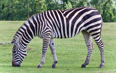 Picture with a zebra eating the grass on a field