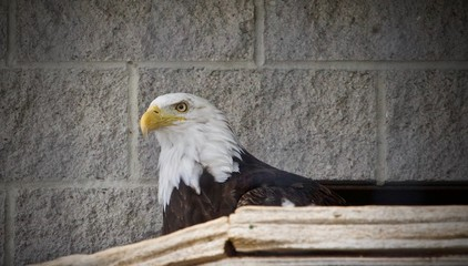 Image of a north American eagle looking aside