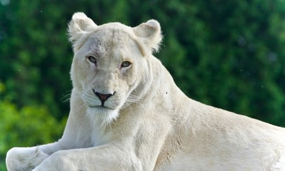 Image of a white lion looking at camera in a field