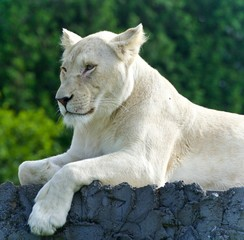 Photo of a funny white lion trying not to sleep