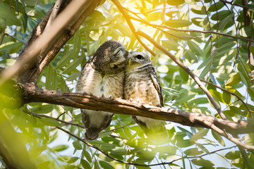 Pair of owl kissing gently..Owls in love, Spotted owlet(Athene brama) perching side by side and squinting eyed with sunlight background.