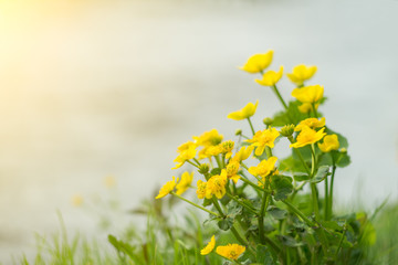 Yellow wild flowers by the river with sun rays.