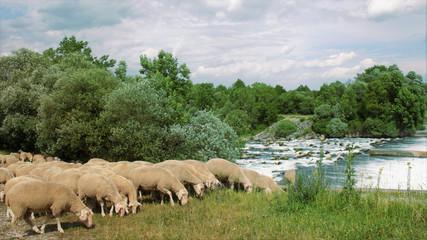 sheep flock at river Lech - Schafherde im Auwald am Lech