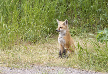 RED FOX KIT ON GREEN GRASS STOCK IMAGE