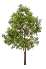 big green tree isolated on white background