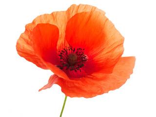 Spoed Fotobehang Klaprozen bright red poppy flower isolated on white