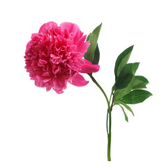 Purple peony flower isolated on white