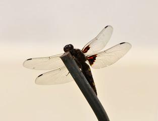 Odonata (libellule)