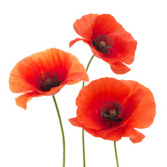 Red poppy flower isolated on a white