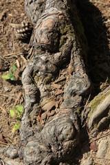 松の根の造形美(宮城県)