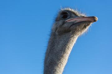 Ostrich bird head  front portrait closeup  on a blue background