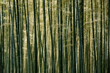 A forest of bamboo.
